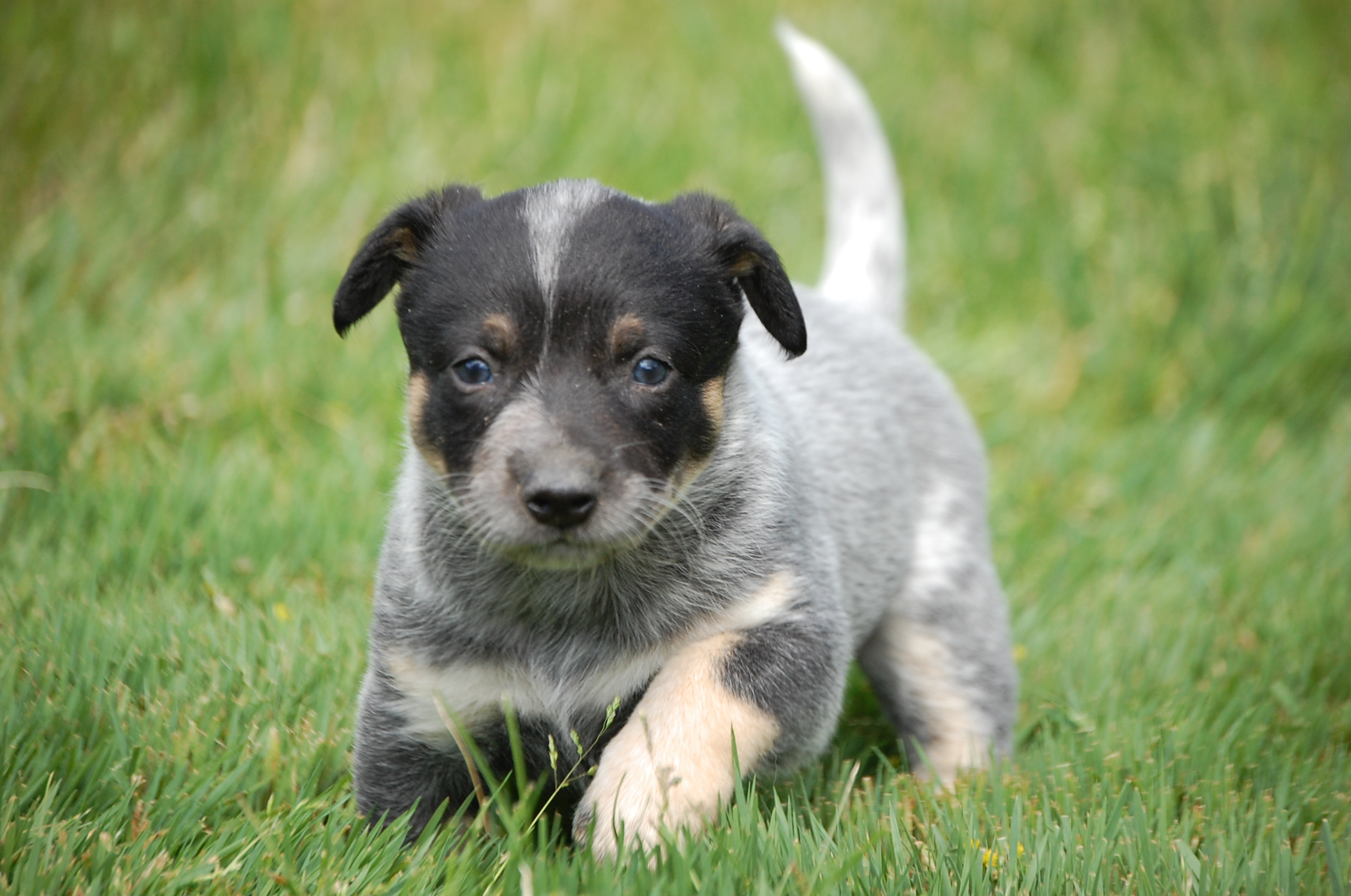 Heeler Coloring | Dog Breeds Picture